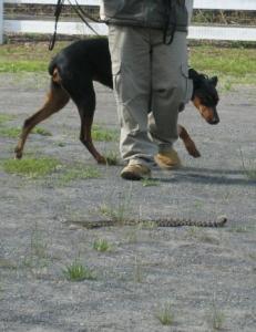 Rattlesnake_Aversion